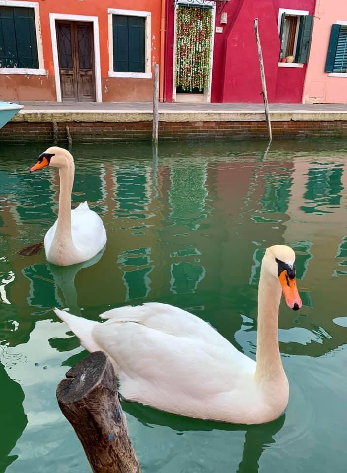 Deux cygnes sur un canal à Venise.